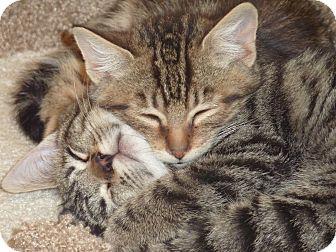 American Shorthair Kitten for adoption in Stanford, California - Arabella