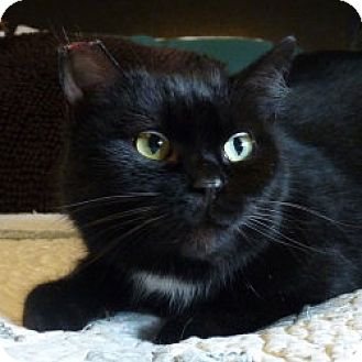 Domestic Shorthair Cat for adoption in Vancouver, Washington - Zoi- Courtesy Posting