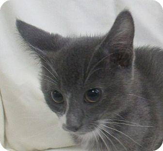 Domestic Shorthair Kitten for adoption in Lloydminster, Alberta - Weeny