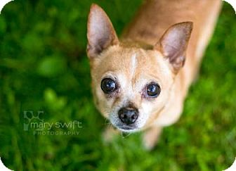 Chihuahua Mix Dog for adoption in Reisterstown, Maryland - Peanut
