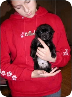 Pekingese/Poodle (Toy or Tea Cup) Mix Puppy for adoption in Ephrata, Pennsylvania - Jett
