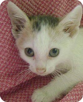 Domestic Shorthair Kitten for adoption in Knoxville, Iowa - Razberry