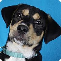 Adopt A Pet :: Chelsie - Minneapolis, MN