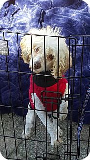 Poodle (Miniature) Dog for adoption in Mary Esther, Florida - Brandy