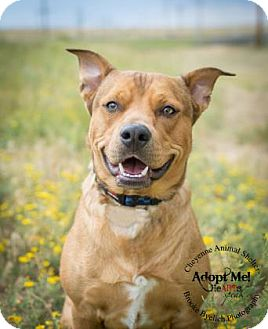 American Pit Bull Terrier Mix Dog for adoption in Cheyenne, Wyoming - Baxter