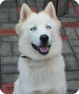 Husky Dog for adoption in Maynardville, Tennessee - Milo