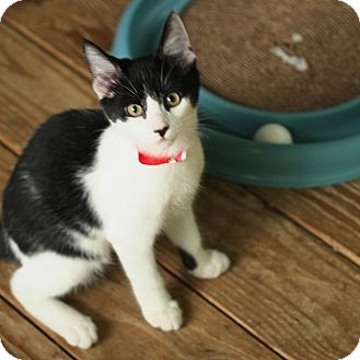 Domestic Shorthair Kitten for adoption in McCormick, South Carolina - Batman