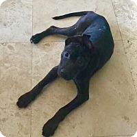 Adopt A Pet :: Harley - Miami, FL