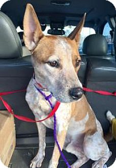Cattle Dog Mix Dog for adoption in Las Vegas, Nevada - Pete