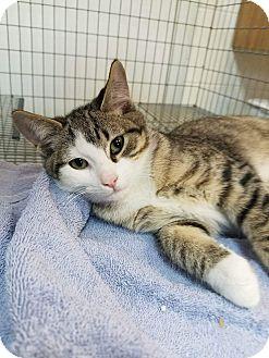 Domestic Shorthair Kitten for adoption in Umatilla, Florida - Tippie