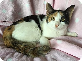 Domestic Shorthair Kitten for adoption in Tampa, Florida - Cherry