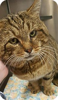 Domestic Shorthair Cat for adoption in Mineral, Virginia - Ceaser