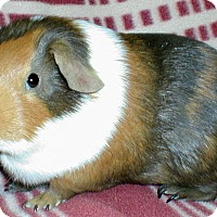 Guinea Pig for adoption in Steger, Illinois - Rugby
