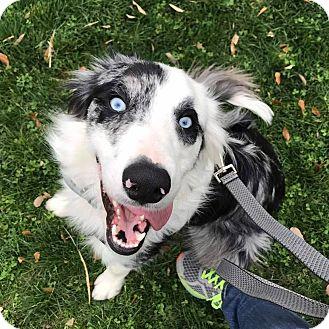Border Collie Mix Dog for adoption in Allen, Texas - Bandit