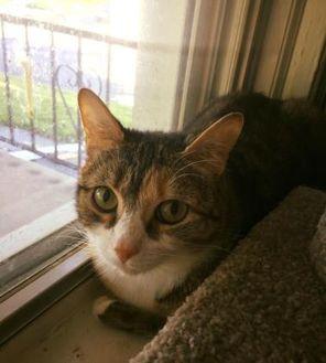Domestic Shorthair/Domestic Shorthair Mix Cat for adoption in Allentown, Pennsylvania - Peanut