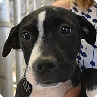 Adopt A Pet :: Blake - Sunnyvale, CA