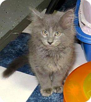 Domestic Longhair Kitten for adoption in Lombard, Illinois - Cornetto