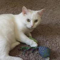 Adopt A Pet :: Snow - Baltimore, MD