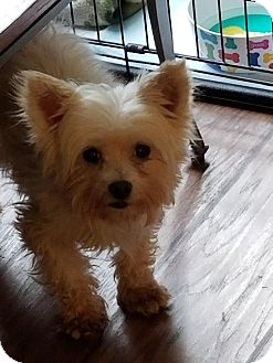 Westie, West Highland White Terrier Mix Dog for adoption in Syracuse, New York - Little Ceasar
