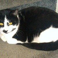 Domestic Shorthair Cat for adoption in Hudson, New York - Percy (Bev's Foster)