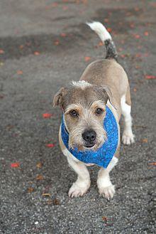 Schnauzer (Standard) Mix Dog for adoption in Key Biscayne, Florida - Dumbo
