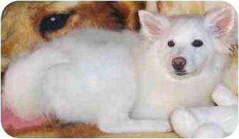 American Eskimo Dog Puppy for adoption in Toronto/Etobicoke/GTA, Ontario - Eskie