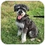 Photo 1 - Miniature Schnauzer/Miniature Poodle Mix Dog for adoption in Worcester, Massachusetts - Rocco