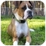 Photo 3 - Boxer/American Bulldog Mix Dog for adoption in Mocksville, North Carolina - Providence