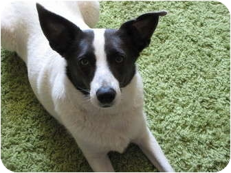 Terrier (Unknown Type, Medium) Mix Dog for adoption in Roosevelt, Utah - Chaz