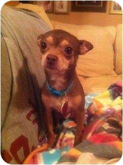 Chihuahua Dog for adoption in Astoria, New York - Little Guy (aka LG)