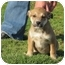 Photo 3 - Golden Retriever/Border Collie Mix Puppy for adoption in Westbrook, Connecticut - Prudence