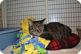 Domestic Shorthair Cat for adoption in Edwardsville, Illinois - Molly