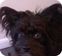 Schnauzer (Miniature) Mix Dog for adoption in St. Petersburg, Florida - Thompson