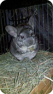 Chinchilla for adoption in Lindenhurst, New York - Basil