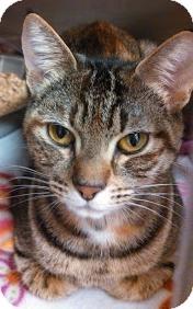 Domestic Shorthair Cat for adoption in Bellingham, Washington - Ruby