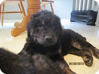 Australian Shepherd/Husky Mix Puppy for adoption in Surrey, British Columbia - Heidi