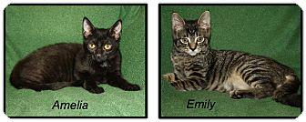 American Shorthair Cat for adoption in Rochester, New York - Amelia