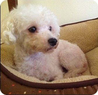 Poodle (Miniature) Dog for adoption in Long Beach, New York - Poochie