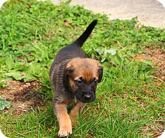 Shepherd (Unknown Type) Mix Puppy for adoption in Reisterstown, Maryland - Cabot