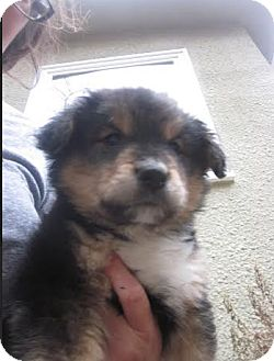 Collie Mix Puppy for adoption in Hainesville, Illinois - Larry
