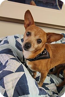 Terrier (Unknown Type, Small)/Chihuahua Mix Dog for adoption in Homewood, Alabama - Gabie
