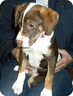 Beagle Mix Puppy for adoption in Irwin, Pennsylvania - Raelyn