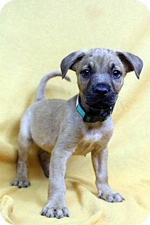 Boxer Mix Puppy for adoption in Westminster, Colorado - Flamenco