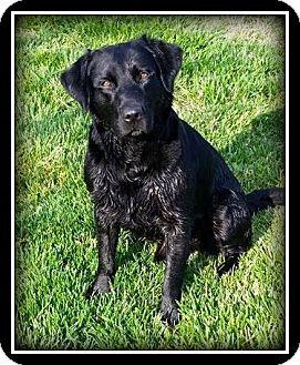 Labrador Retriever Mix Dog for adoption in Indian Trail, North Carolina - Luke