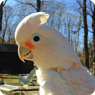 Cockatoo for adoption in Fitzwilliam, New Hampshire - Angel