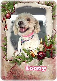 Poodle (Miniature) Mix Dog for adoption in Encino, California - Loopy