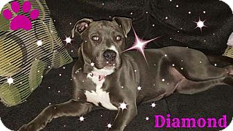 American Pit Bull Terrier Puppy for adoption in Sioux Falls, South Dakota - Diamond