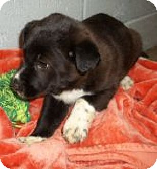 Australian Cattle Dog/Chow Chow Mix Puppy for adoption in Silver City, New Mexico - Kerian