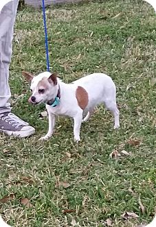 Chihuahua Mix Dog for adoption in Houston, Texas - SPUDZ