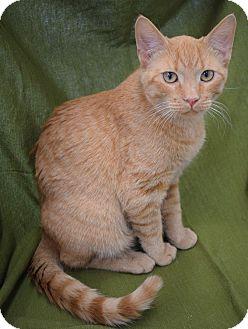 Domestic Shorthair Kitten for adoption in Hillside, Illinois - Peanut-7 MONTHS
